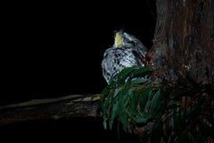 Podargus strigoides - Tawny Frogmouth nightjar from Australia, sitting on the tree. In the night Stock Photo