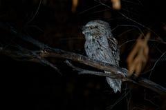 Podargus strigoides - Tawny Frogmouth nightjar from Australia, sitting on the tree. In the night Stock Photography