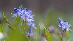 Podatny błękitny squill kwitnie i pączki, cebulicy bifolia na pogodnym wiosna dniu, natura obudzą czas, ekstremum zamazujący tło zbiory
