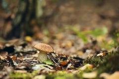 Podberezovik гриба в расчистке в лесе осени Стоковое Изображение
