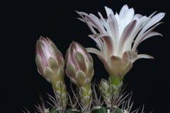 Podbródka kaktus Zdjęcia Royalty Free