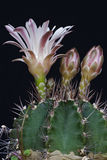 Podbródka kaktus Obraz Royalty Free