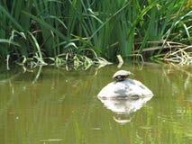 Podcięty żółw zdjęcia stock