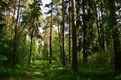 Podcieniowanie z swój potężnymi łapami ziemia, sosna i jedlinowi drzewa zamienia, krzaki i drzewa obraz royalty free
