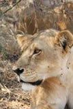 Podczas dnia czasu najwięcej lwa odpoczynku po jedzenia i wody obraz stock