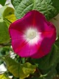 podejście różowy tinkerbell kwiat w ogródzie obrazy royalty free