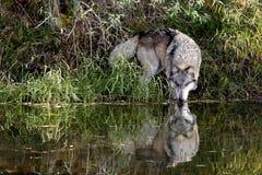 Podejrzany wilk x27 i it&; s odbicie pije przy stawem Zdjęcie Stock
