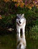 Podejrzany wilk x27 i it&; s odbicie przy stawem Zdjęcie Stock
