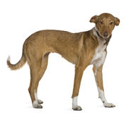 Podenco Andalou dog, 2 years old, standing Stock Image