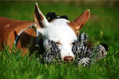 Podenco Andaluz. Is protecting his plush toy Royalty Free Stock Images