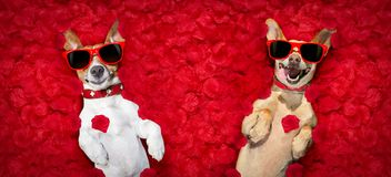 Valentines couple of dogs   with  rose petals. Podenco dog resting in  a bed of rose petals for valentines day happy with funny red sunglasses Stock Images