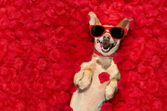Valentines dog   with  rose petals Stock Photography