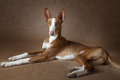 Podenco ibicenco dog against brown background Royalty Free Stock Photography