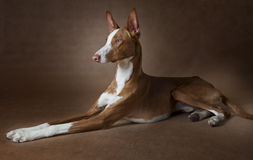 Podenco ibicenco dog in front of brown background Stock Photos