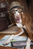 Podenco ibicenco dog with glasses and hat Royalty Free Stock Photography