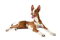 Podenco ibicenco dog over white Stock Images