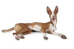 Podenco ibicenco (Ibizan Hound) dog over white. One year old purebred Ibizan Hound (Podenco ibicenco) dog lying in front of white background Royalty Free Stock Photo