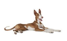 Podenco ibicenco (Ibizan Hound) dog. Purebred Ibizan Hound (Podenco ibicenco) dog lying in front of white background Royalty Free Stock Photos