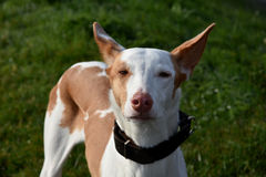 Podenco Royalty Free Stock Images