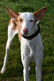 Podenco Stock Images