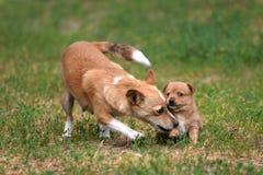 podengo portugalian小狗 免版税图库摄影