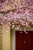 Poder de árvores de cereja de florescência em subúrbios de Seattle Foto de Stock Royalty Free