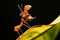 Poder de la hormiga fotos de archivo libres de regalías