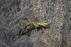 Poder del musgo; crece entre las piedras y absorbe el di?xido de carbono imagenes de archivo