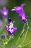 Podesłania bellflower kampanuli patula Fotografia Stock