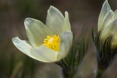 Podesłania pasqueflower obraz stock