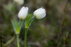 Podesłania pasqueflower zdjęcia stock
