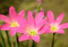 Podeszczowa leluja lub Zephyranthes kwiaty obrazy stock