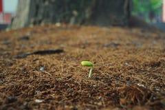 Podeszczowego drzewa rozsada Fotografia Stock