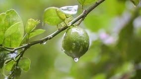 Podeszczowej wody krople od wapno owoc materiału filmowego zbiory