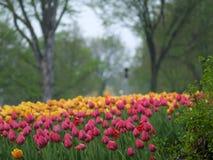 podeszczowi tulipany Zdjęcie Stock