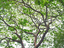 Podeszczowy drzewo Obrazy Royalty Free