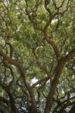 podeszczowy Hawajczyka drzewo Fotografia Royalty Free