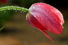 podeszczowy kropelka zakrywający tulipan Obrazy Royalty Free