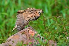Podeszczowy przepiórka ptak Obraz Stock