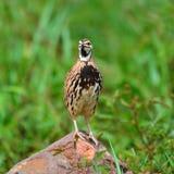 Podeszczowy przepiórka ptak Zdjęcia Royalty Free
