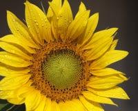 podeszczowy słonecznik Zdjęcia Stock