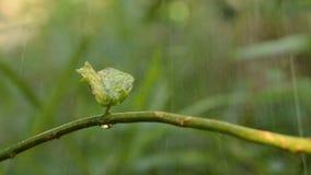 Podeszczowy spadać liść na krzywy gałąź i woda opuszczamy puszek w ogródzie zbiory wideo