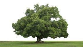 Podeszczowy wielki drzewo & x28; Albizia saman& x29; , tropikalny drzewo Obrazy Royalty Free