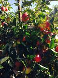 Podglądań jabłka obraz stock