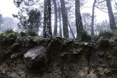 Podglebie mgły drzewa Zdjęcie Royalty Free