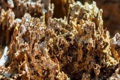 Podgniła drzewnej barkentyny gnicia opłata termit tekstury wzór fotografia stock