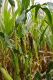 Podgniła kukurudza na badylu wciąż Obrazy Royalty Free