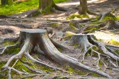 Podgniły drzewny bagażnik w lesie Obraz Royalty Free