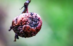 Podgniły jabłko na drzewie wciąż Zdjęcie Stock