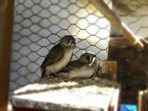 Podgniezdnik zebry Finches zdjęcie royalty free